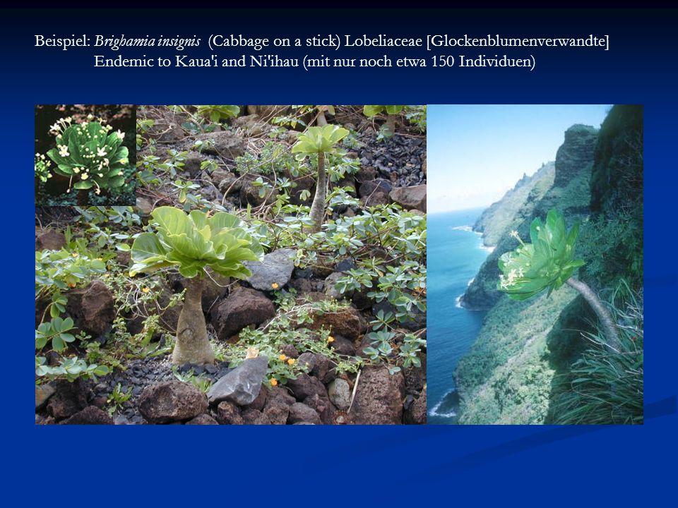 Beispiel: Brighamia insignis (Cabbage on a stick) Lobeliaceae [Glockenblumenverwandte]